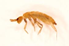 Pogognathellus longicornis