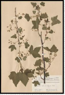 Ribes nigrum L.