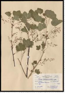 Ribes spicatum E. Robson