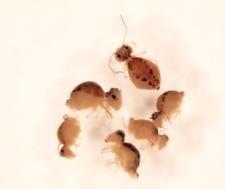 Sminthurus maculatus