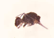 Pthenotrix atra