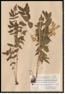 Filipendula ulmaria (L.) Maxim.