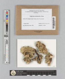 Nephroma arcticum (L.) Torss.