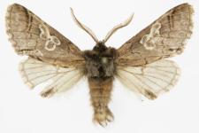 Diloba caeruleocephala