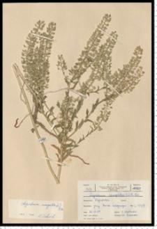 Lepidium campestre (L.) R. Br.