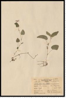 Viola canina L.