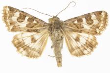 Protoschinia scutosa
