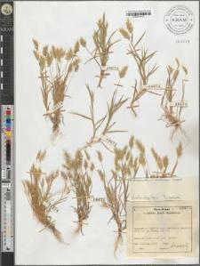 Anthoxanthum aristatum Boissier