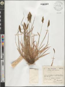 Anthoxanthum alpinum