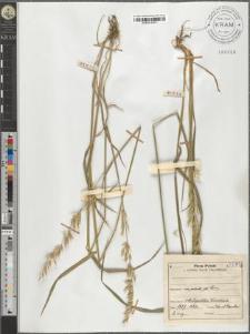 Arrhenatherum elatius (L.) M. K.