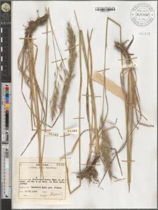 Avenastrum pubescens Huds.