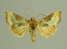Diachrysia chrysitis (Linnaeus, 1758)