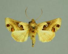Euchalcia consona (Fabricius, 1787)
