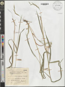 Brachypodium silvaticum Roem. et Sch.