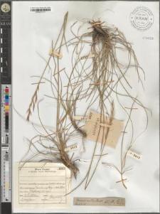 Bromus erectus Huds