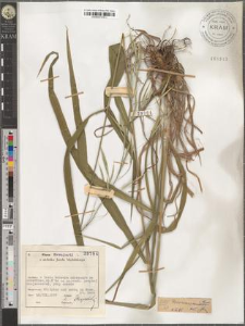 Bromus ramosus Huds.