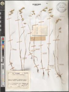 Bromus japonicus Thunb. ex Murr