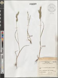 Bromus secalinus