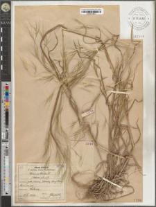 Bromus sterilis L.