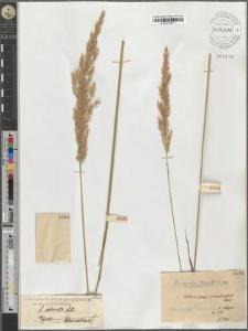 Calamagrostis arundinacea (L.) Roth var. typica Podpĕra fo. colorata Litw.