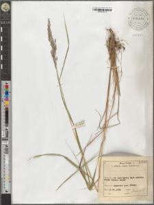 Calamagrostis lanceolata Rth.