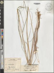 Calamagrostis lanceolata Roth. var. genuina Gerstlauer