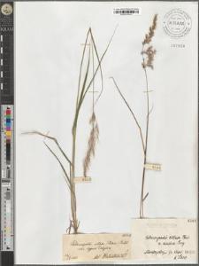 Calamagrostis villosa (Chaix.) Mutel. var. typica Podpĕra