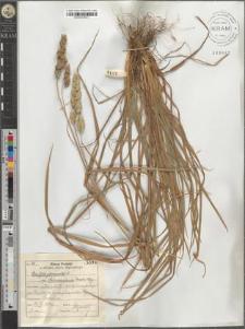 Dactylis glomerata L. subsp. Aschersoniana (Graeb.) Hay.