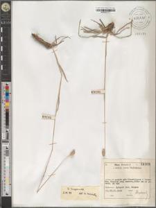 Dactylis hispanica