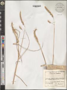 Dactylis hispanicus