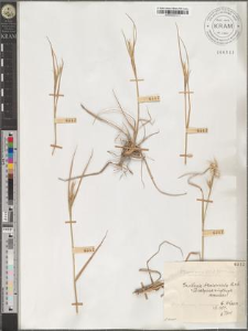 Danthonia breviaristata Vierh.