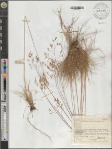 Deschampsia flexuosa (L.) Trin.
