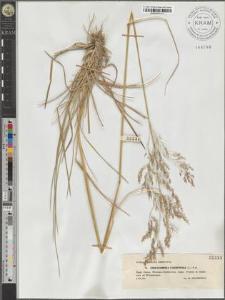 Deschampsia caespitosa (L.) P.B.