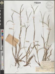 Digitaria ischaemum (Schreb.) Muhl.