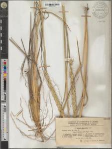 Elymus giganteus Vahl