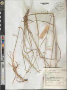 Elytrigia scythica