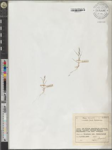 Eragrostis aegyptiaca Del.