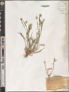 Eremopyrum triticeum
