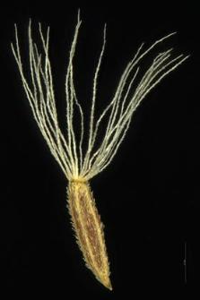 Solidago canadensis L.