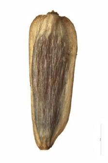 Achillea tanacetifolia All. Ukr. Andrz.
