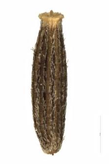 Senecio silvaticus