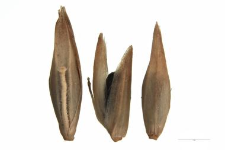 Molinia coerulea Moench
