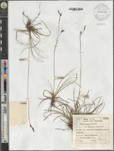 Carex sempervirens Vill. subsp. Tatrorum (Zap.) Pawł.