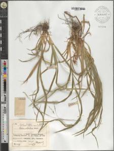 Carex silvatica Huds.