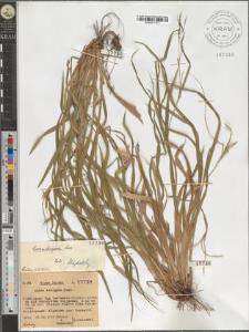 Carex strigosa Host
