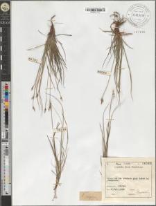 Carex supina