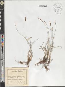 Carex supina Whlb.
