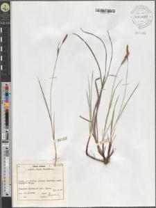 Carex tomentosa L.