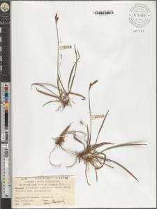 Carex vaginata Tausch. fo. rhizogyna Schube