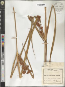 Chlorocyperus longus
